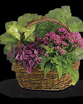 Plante Panier du jardin secret