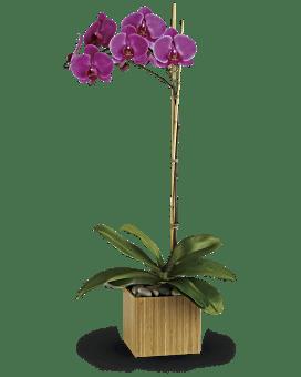 Plante Orchidée violette impériale de Teleflora