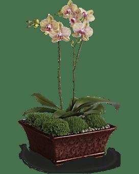 Orchidée divine – Plante