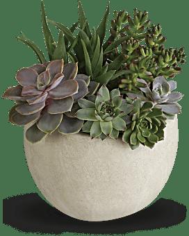 Jardin de succulentes Beauté du désert, plante