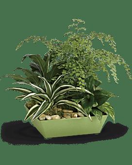 Usine de jardin de plante pour toujours verte