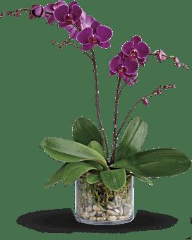 Usine glorieuse de la gratitude orchidée