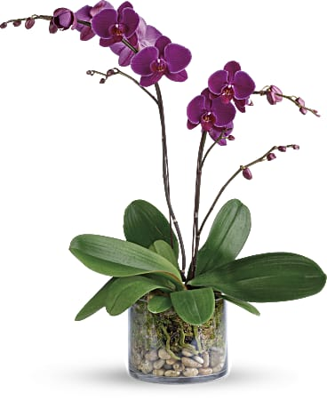 Glorious Gratitude Orchid Plant Teleflora