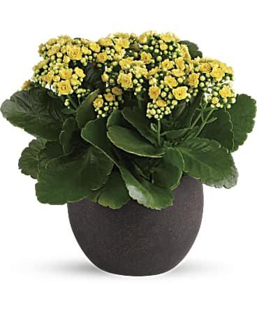 Forever Yellow Kalanchoes Plant Teleflora