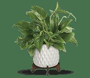 Teleflora's Lush Leaves Pothos Plant