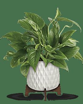 Teleflora's Lush Leaves Pothos Plant Bouquet