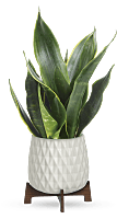Teleflora's Growing Art Sansevieria Plant