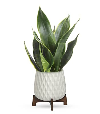 Teleflora's Growing Art Sansevieria Plant Flowers