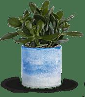 Teleflora's Sky Glass Jade  Plants