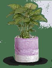 Teleflora's Lavender Frost  Plants