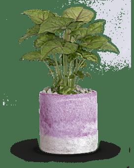 Teleflora's Lavender Frost Plant  Plant