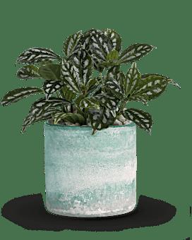 Teleflora's Seaside Mist Plant  Plant
