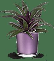 Teleflora's Leaves of Amethyst  Plants