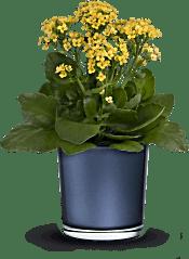 Teleflora's Golden Morning  Plants