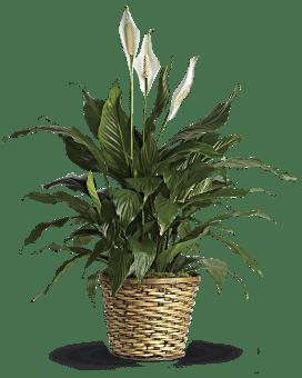 Simply Elegant Spathiphyllum - Medium Plant