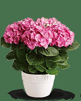 Happy Hydrangea - Pink Plant