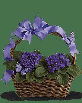Violettes et papillons - Plante
